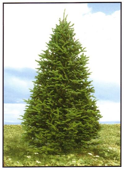 All Nova Scotia Real Christmas Trees CoOp